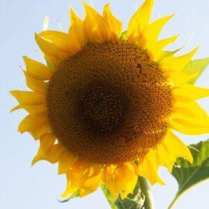 5/17: Take-and-Make Monday: Sunflower Planting